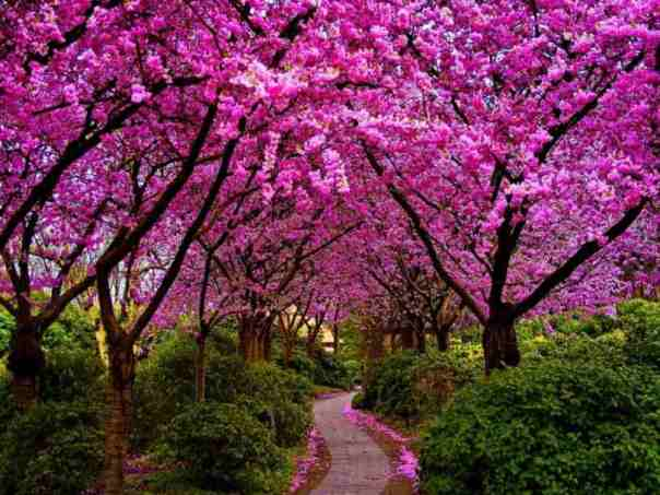 pink blossoms on trees