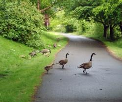 geese on bike trail