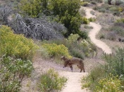 mountain lion on bike trail