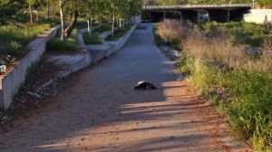 skunk on trail