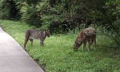 bobcat & coyote along bike trail