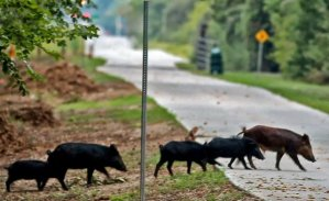 feral pigs on bike trail